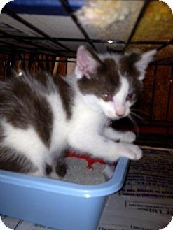 American Shorthair Kitten for adoption in Allentown, Pennsylvania - Mosby
