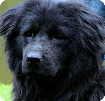Newfoundland/Chow Chow Mix Dog for adoption in Wakefield, Rhode Island - BLISS(MAGNIFICENT!! WOW!!