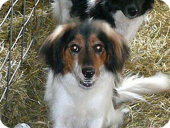 Border Collie/Australian Shepherd Mix Dog for adoption in Liberty Center, Ohio - Lance