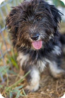 Cairn Terrier/Terrier (Unknown Type, Small) Mix Dog for adoption in Pilot Point, Texas - TOTO