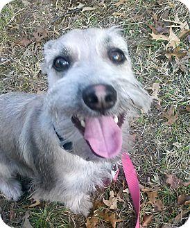 Schnauzer (Miniature) Mix Dog for adoption in Waldorf, Maryland - Luke