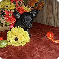 Adopt A Pet :: Teeny Chi-weenie - Chandlersville, OH