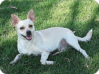 Basenji/Spitz (Unknown Type, Small) Mix Dog for adoption in El Cajon, California - PALOMA, beach video!