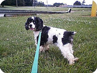 Cocker Spaniel Dog for adoption in Kannapolis, North Carolina - Lyla -Adopted!