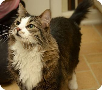 Domestic Mediumhair Cat for adoption in Reston, Virginia - Coco Chanel