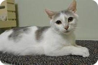 Domestic Shorthair Cat for adoption in Cincinnati, Ohio - Prudence