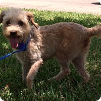 Adopt A Pet :: Laurie - San Antonio, TX
