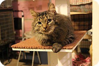 Domestic Shorthair Cat for adoption in Carlisle, Pennsylvania - Leo