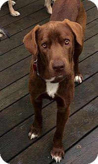 Labrador Retriever Mix Dog for adoption in Grand Rapids, Michigan - Brody