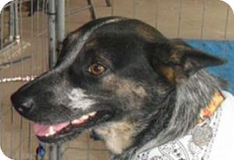 Cattle Dog Dog for adoption in Grand Saline, Texas - Maggie