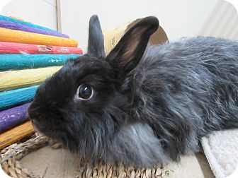 Jersey Wooly Mix for adoption in Newport, Delaware - Cher