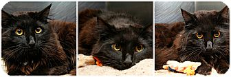 Domestic Longhair Cat for adoption in Forked River, New Jersey - C-Lion