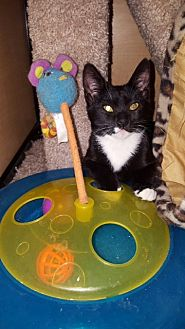 Domestic Shorthair Cat for adoption in El Cajon, California - Spike