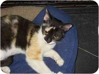 Calico Kitten for adoption in Los Angeles, California - Samantha