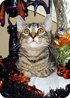Domestic Shorthair Kitten for adoption in Homewood, Alabama - Basil