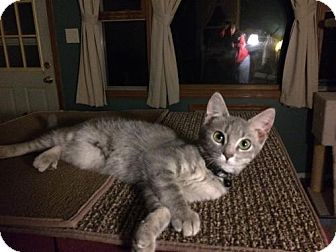 Domestic Shorthair Kitten for adoption in Wilmore, Kentucky - Boo