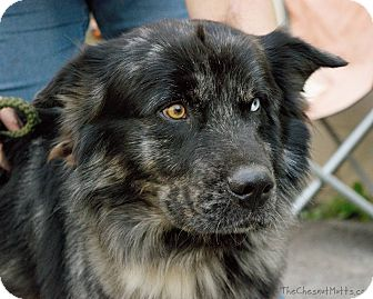 Australian Shepherd Mix Dog for adoption in Laingsburg, Michigan - Bandit