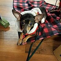 Adopt A Pet :: PeeWee - Soooo Adorable! - Quentin, PA