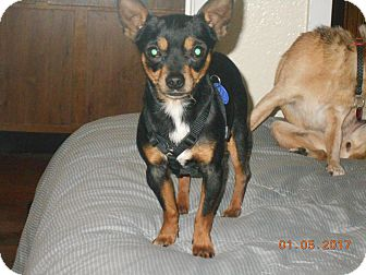 Chihuahua Dog for adoption in haslet, Texas - poochie