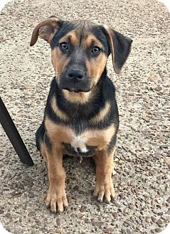 Golden Retriever/Bernese Mountain Dog Mix Puppy for adoption in HAGGERSTOWN, Maryland - JACKSON AND OXFORD