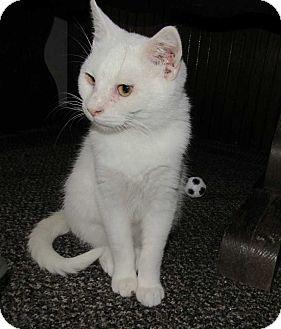 Domestic Shorthair Kitten for adoption in Norwich, New York - Opi