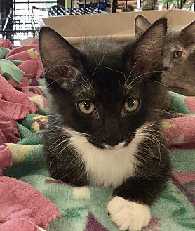 Domestic Shorthair Kitten for adoption in Gilbert, Arizona - Prince Rainier