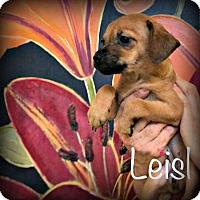 Adopt A Pet :: Leisl - Tijeras, NM