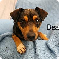 Adopt A Pet :: Bear - Melbourne, KY