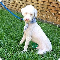 Adopt A Pet :: Filbert---COURTESY LISTING - Fort Worth, TX