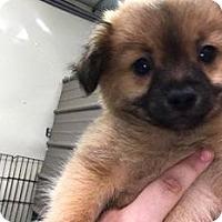 Adopt A Pet :: AARON - Coudersport, PA