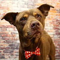 Adopt A Pet :: Russell meet me 9/8 - East Hartford, CT