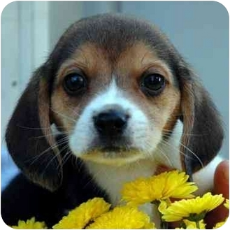 Beagle Puppy for adoption in Westfield, New York - Shiloh