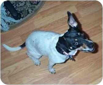 Jack Russell Terrier Mix Dog for adoption in Sugar Land, Texas - Sasha