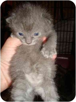 Russian Blue Kitten for adoption in Sunderland, Ontario - Eliza and Ester