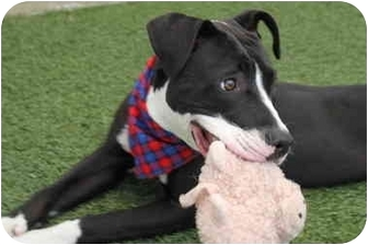American Pit Bull Terrier/American Staffordshire Terrier Mix Puppy for adoption in San Pedro, California - Bootsie
