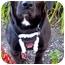 Photo 1 - Labrador Retriever/Basset Hound Mix Dog for adoption in Portland, Oregon - Low Ridin' Ramone