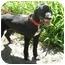Photo 1 - Spaniel (Unknown Type)/Labrador Retriever Mix Dog for adoption in Northville, Michigan - Buster B
