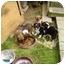 Photo 4 - Sheltie, Shetland Sheepdog/Chihuahua Mix Puppy for adoption in Hillsboro, Ohio - Sheltie Mix (6) Born 4-13-08