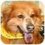 Photo 1 - Chow Chow/Golden Retriever Mix Dog for adoption in Cincinnati, Ohio - Tepe