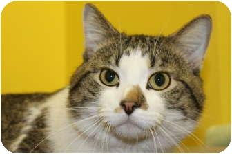 Domestic Shorthair Cat for adoption in HARRISONVILLE, Missouri - Sampson