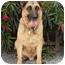 Photo 3 - German Shepherd Dog Dog for adoption in Los Angeles, California - Rocky von Lancaster