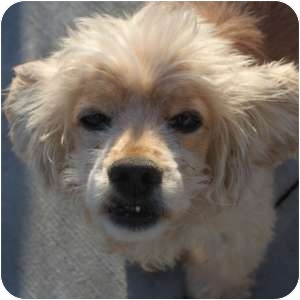 Cocker Spaniel Mix Dog for adoption in Naperville, Illinois - Clay