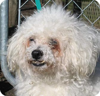 Bichon Frise Mix Dog for adoption in Crown Point, Indiana - Merlin (adoption pending)