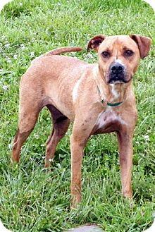 Boxer Mix Dog for adoption in Sullivan, Missouri - Lucy