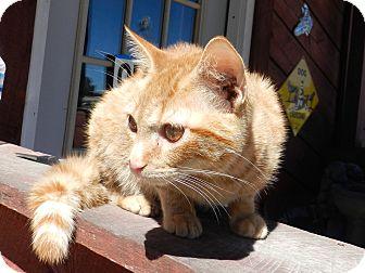 Domestic Shorthair Cat for adoption in Lawrenceburg, Tennessee - Joker