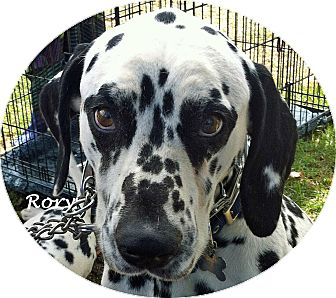 Dalmatian Dog for adoption in Mandeville Canyon, California - Rory
