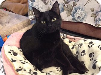Domestic Shorthair Cat for adoption in Byron Center, Michigan - Alani