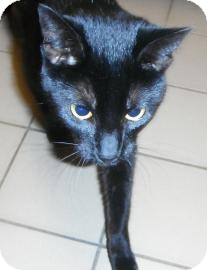 Domestic Shorthair Cat for adoption in Jackson, Michigan - Momo