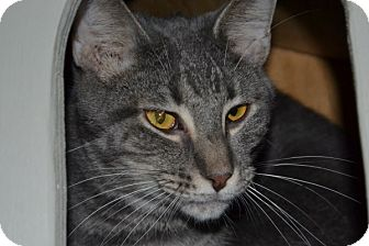 Domestic Shorthair Cat for adoption in Elyria, Ohio - Simon