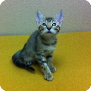 Domestic Shorthair Kitten for adoption in Gilbert, Arizona - Spit